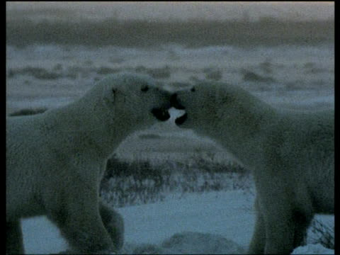 polar bears play fighting at sunset, churchill, canada - bbc stock videos and b-roll footage