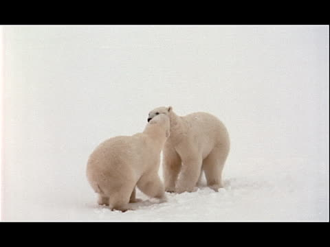 polar bears play with each other in the snow. - other stock videos & royalty-free footage