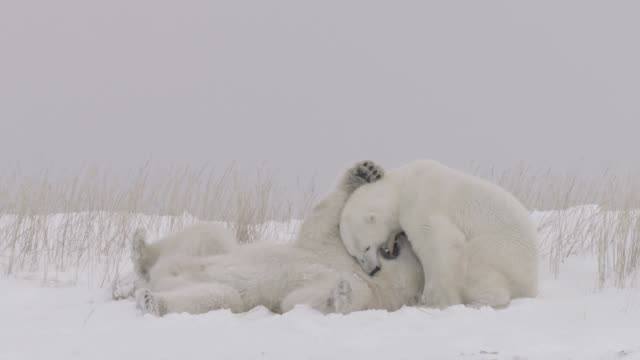polar bears playfight, canada - two animals stock-videos und b-roll-filmmaterial