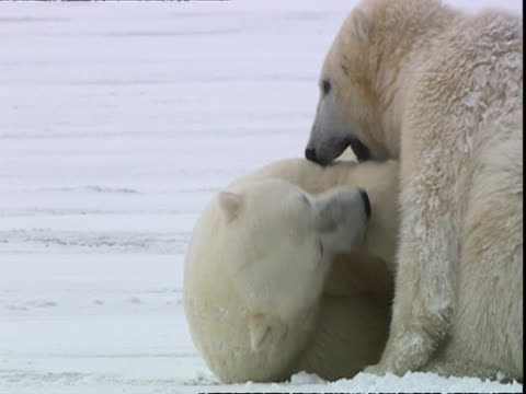 vídeos y material grabado en eventos de stock de polar bears (ursus maritimus) playfighting, near churchill, manitoba, canada - boca de animal