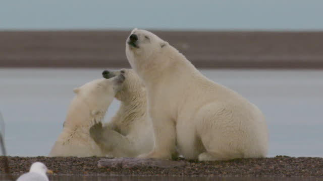 polar bears playing in the water, north pole - animal family stock videos & royalty-free footage