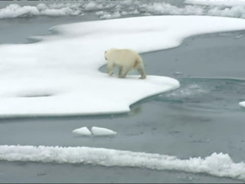 polar bears run and swim across melting ice floes - polarklima stock-videos und b-roll-filmmaterial