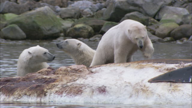 polar bears scavenge on a dead whale carcass in svalbard, arctic norway. - cetacea stock videos & royalty-free footage