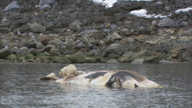 vídeos de stock e filmes b-roll de polar bears scavenge on a dead whale carcass in svalbard, arctic norway. - cetáceo