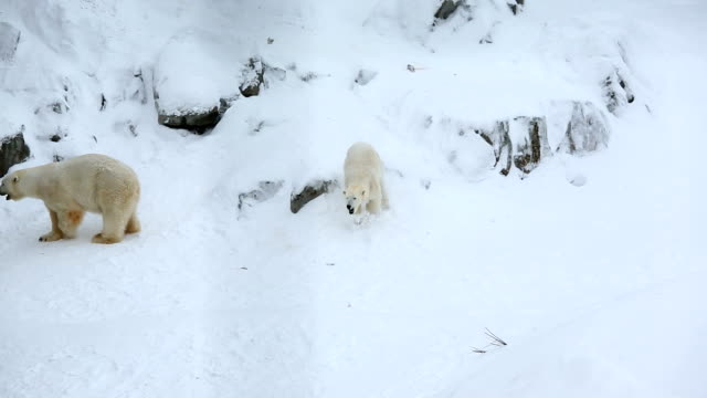 vidéos et rushes de polar bears snow covered wildlife park ranua finland  - two animals