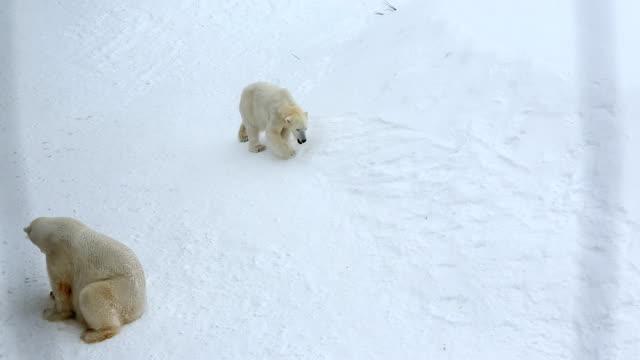polar bears snow covered wildlife park ranua finland  - peter snow stock videos & royalty-free footage