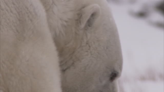 stockvideo's en b-roll-footage met polar bears sparring in blizzard, churchill, manitoba, canada - dierenhaar