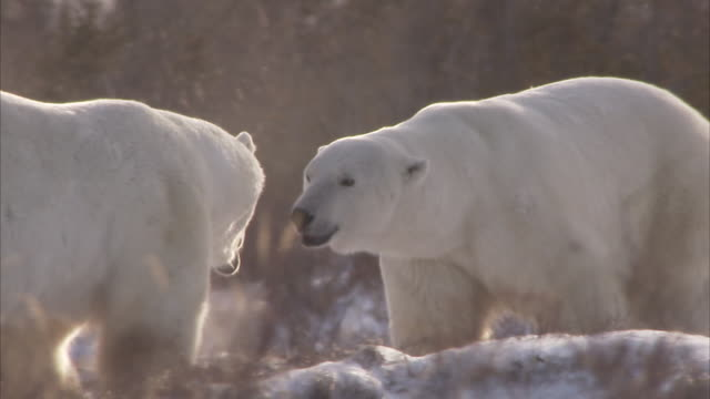 polar bears sparring in sunshine, churchill, manitoba, canada - 攻撃的点の映像素材/bロール