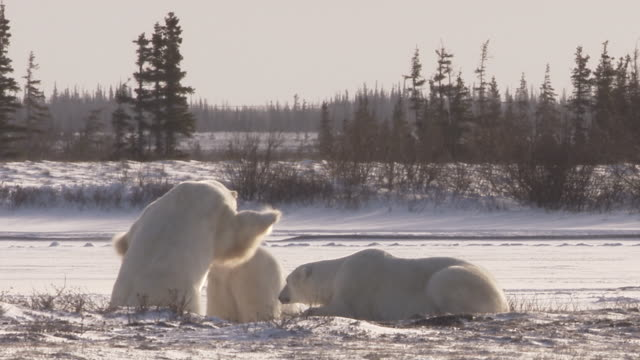 polar bears sparring in sunshine, churchill, manitoba, canada - play fight stock videos and b-roll footage