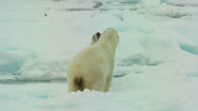 2 polar bears squabble on ice floe - norway stock videos & royalty-free footage