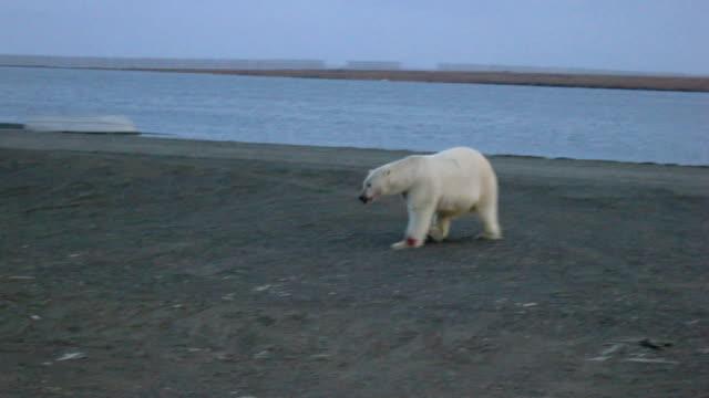 vídeos y material grabado en eventos de stock de osos polares - ártico