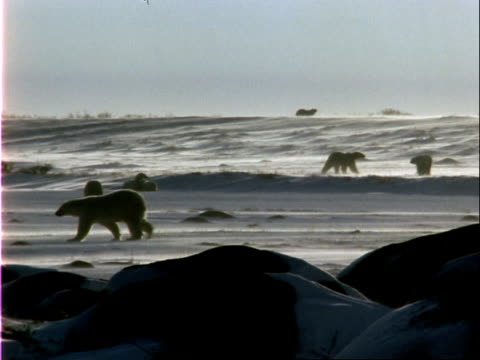 polar bears walk across windy arctic terrain. - 水の形態点の映像素材/bロール