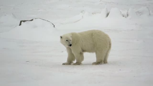 polar bears walking on snow in churchill, canada - klima stock-videos und b-roll-filmmaterial