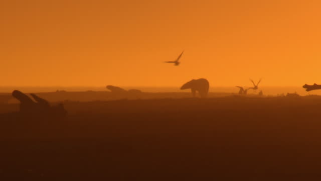 stockvideo's en b-roll-footage met polar bears wander along the shoreline near kaktovik at dusk.  - meeuw