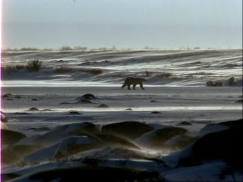 polar bears wander on windy arctic terrain. - 水の形態点の映像素材/bロール