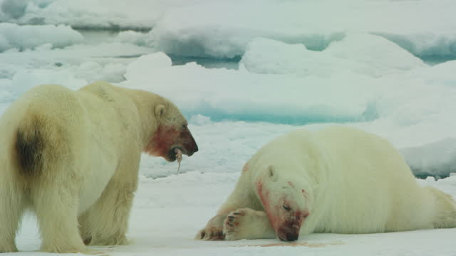 2 polar bears with one eating blubber and the other licking ice - thirsty stock videos & royalty-free footage