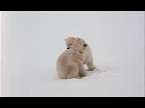 polar bears wrestle each other in the snow. - other stock videos & royalty-free footage
