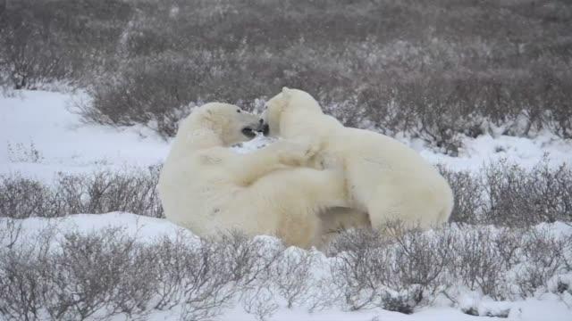 Polar bears wrestle on a snowy field.