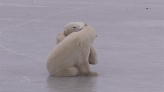 polar bears wrestling on ice, churchill, manitoba, canada - manitoba stock videos & royalty-free footage