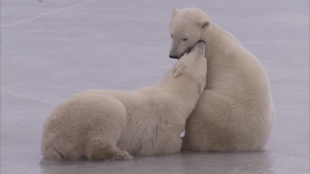 polar bears wrestling on ice, churchill, manitoba, canada - play fight stock videos and b-roll footage