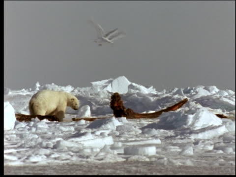 a polar sniffs around the remains of a whale carcass. - cetacea stock videos & royalty-free footage