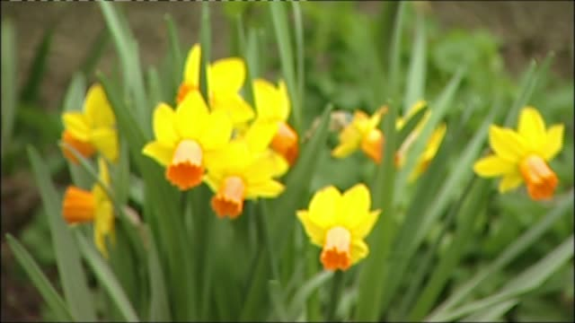 police confiscate daffodils from children lib 542012 ext gvs daffodils - daffodil stock videos & royalty-free footage