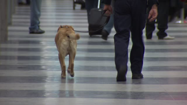 police dog walking through airport on december 26, 2009 in chicago, illinois - セキュリティスキャナ点の映像素材/bロール