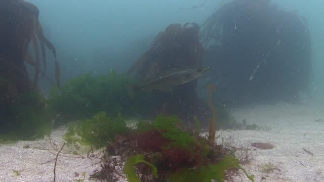 vidéos et rushes de pollack - océan atlantique