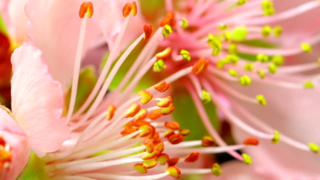 pollen blooming - stamen stock videos & royalty-free footage