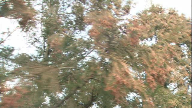 pollen hangs from the male flowers of a japanese cedar tree in tokyo, japan. - 花粉点の映像素材/bロール