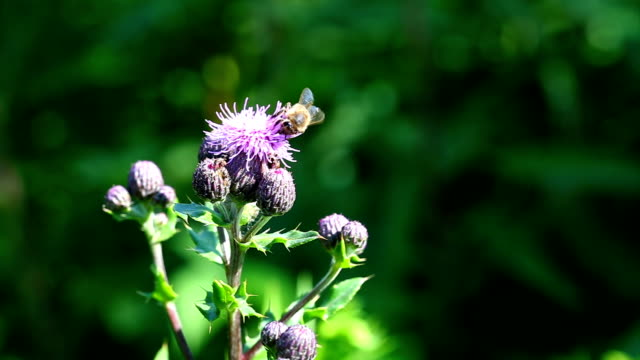 pollinating insects on thistle - thistle stock videos & royalty-free footage