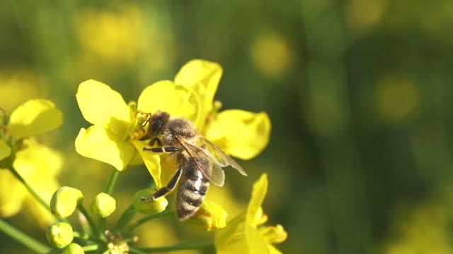 pollination of oilseed rape crops - oilseed rape stock videos & royalty-free footage