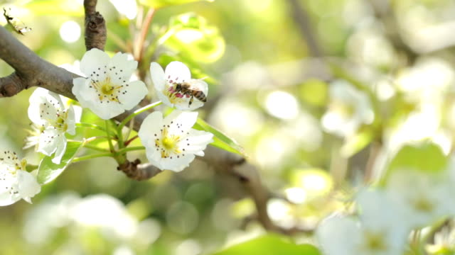 Pollination of the apple tree flowers