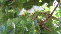Pollination of the Souari nut (Caryocar brasiliense) known as pequi  in Portuguese at September season.