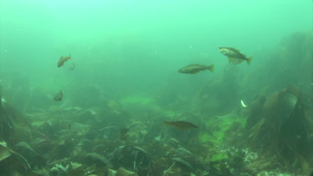 vídeos de stock e filmes b-roll de pollock. channel islands, british waters - ilhas do canal da mancha