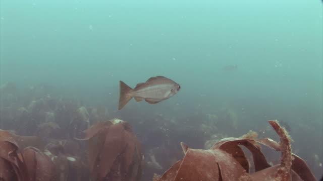 pollock (pollachius pollachius) underwater at st bride's bay in pembrokeshire, wales - タラ点の映像素材/bロール