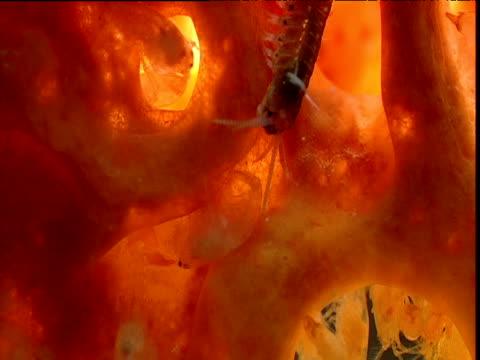 polychaete worm bites eusocial shrimp (synalpheus regalis), belize - zuschnappen stock-videos und b-roll-filmmaterial