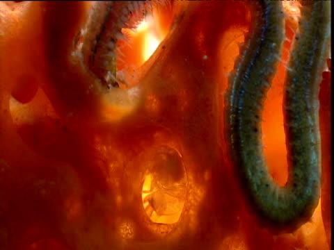 polychaete worm near eusocial shrimp, belize - zuschnappen stock-videos und b-roll-filmmaterial