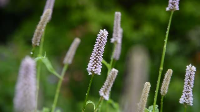 Polygonum bistorta superbum flowers in close up