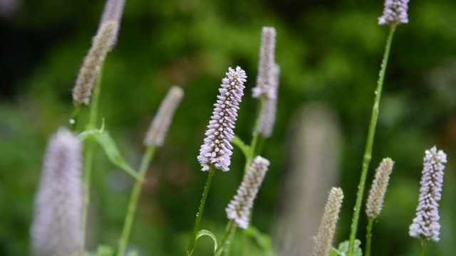 polygonum bistorta superbum flowers in close up - flowering plant stock videos & royalty-free footage