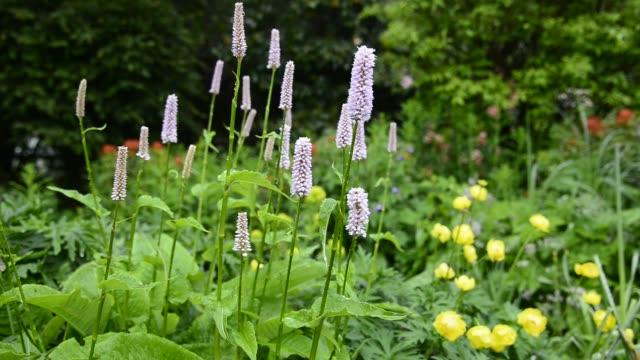 polygonum bistorta superbum in a garden - flowering plant stock videos & royalty-free footage