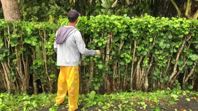 vídeos de stock e filmes b-roll de polynesian cook islander gardener trimming hedge - insulano do pacífico
