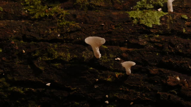 polypore mushrooms sprout from a rotting log. available in hd. - woodland stock videos & royalty-free footage