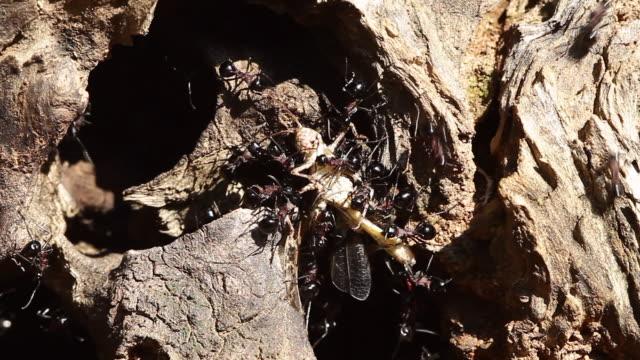 vidéos et rushes de polyrhachis lamellidens ants tearing their prey apart and carrying it together - plaque de montage fixe