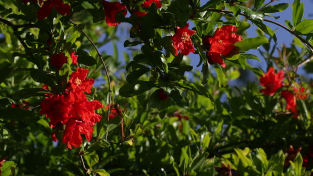 pomegranate flowers in bloom - sunny stock videos & royalty-free footage