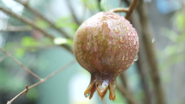 pomegranate on tree and spray fertilizer - spray insulation stock videos & royalty-free footage