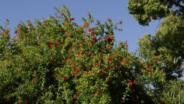 vídeos y material grabado en eventos de stock de pomegranate tree in bloom - árbol de hoja caduca