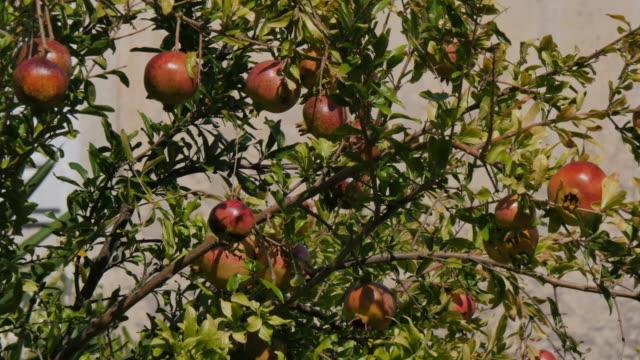 vídeos y material grabado en eventos de stock de pomegranate tree, korcula old town, korcula, dalmatia, croatia, europe - cultura croata