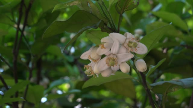 春に咲くポメロの花 - オレンジの木点の映像素材/bロール