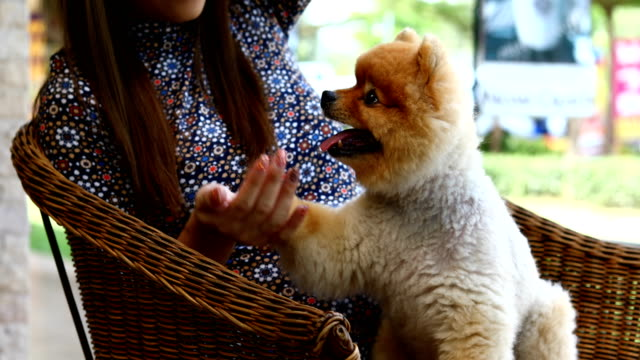 Pomeranian dog cute pets eating snack in hand owner